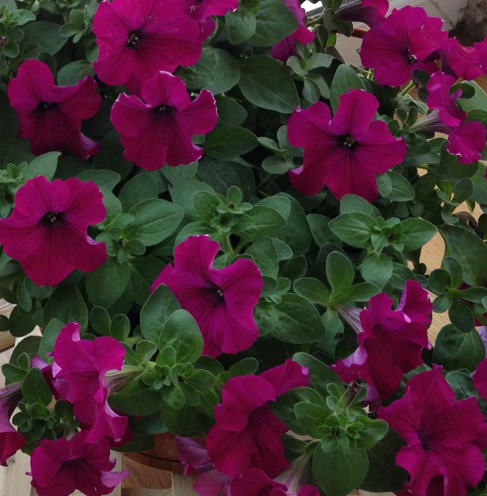 petunia mov1